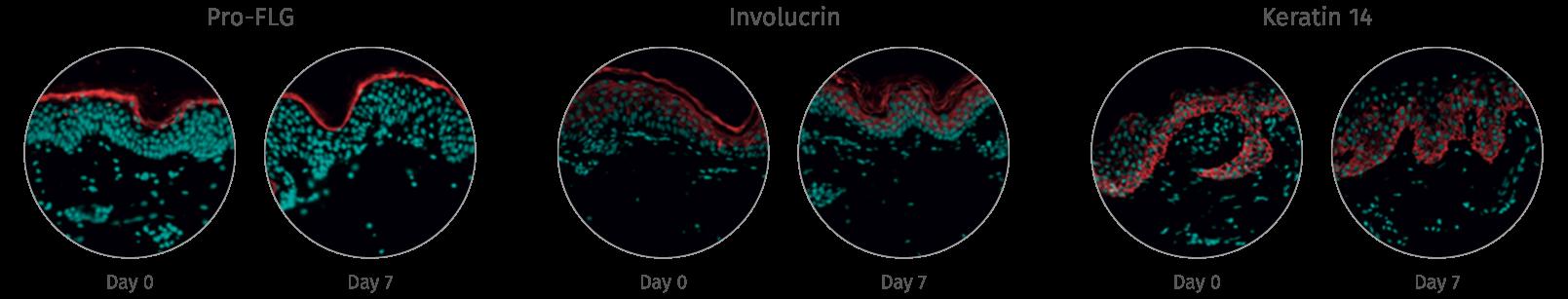 human skin structure and live skin response NativeSkin models