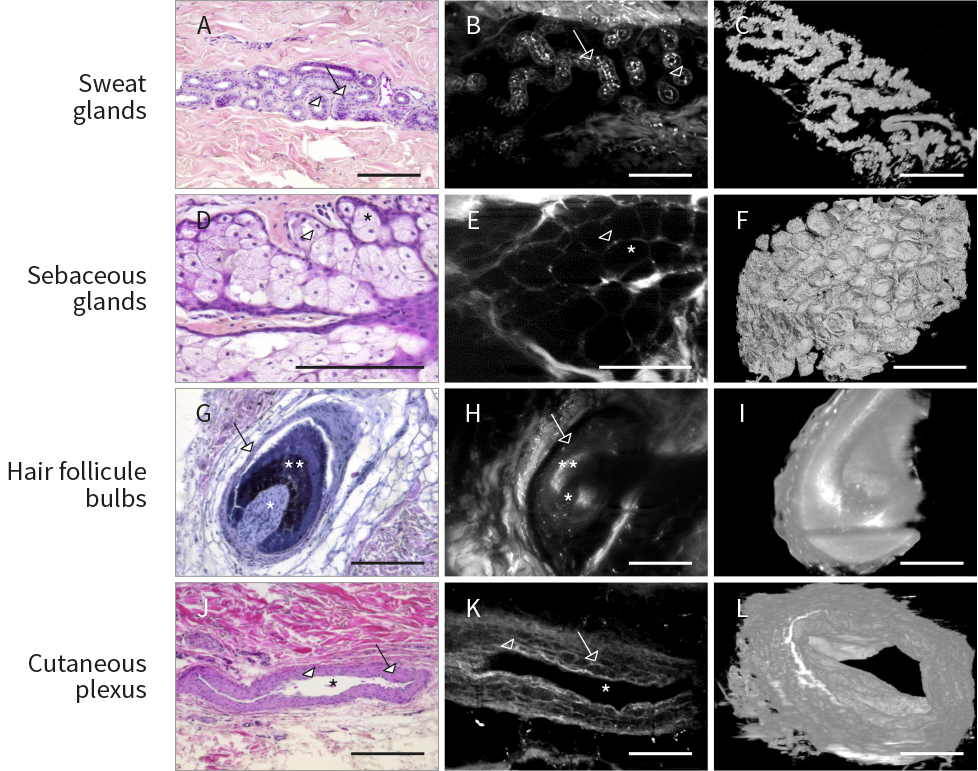 Visualization of human skin appendages entire structure in 3D