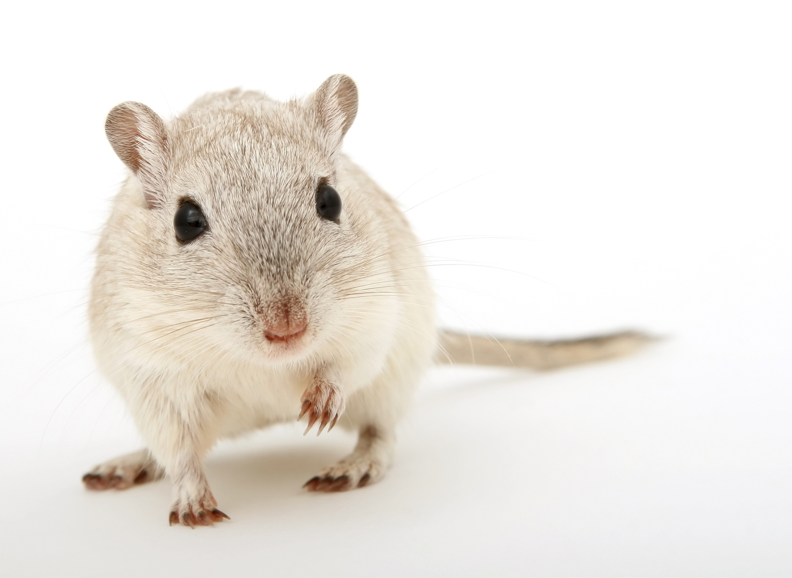 rodent isolated on white, macro closeup